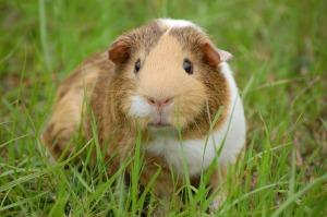 guinea-pig-242520_1280