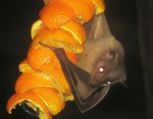 egyptian-fruitbat-69580_1280